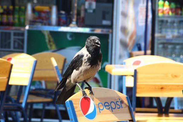 Τα κοράκια στην Ουκρανία έχουν λίγο διαφορετικές συνήθειες... (2)