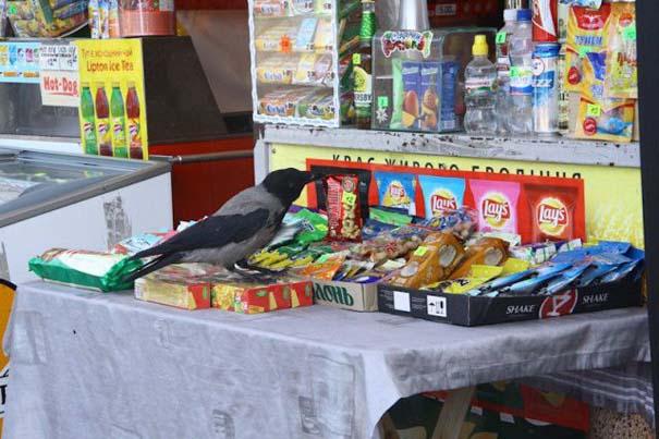 Τα κοράκια στην Ουκρανία έχουν λίγο διαφορετικές συνήθειες... (4)