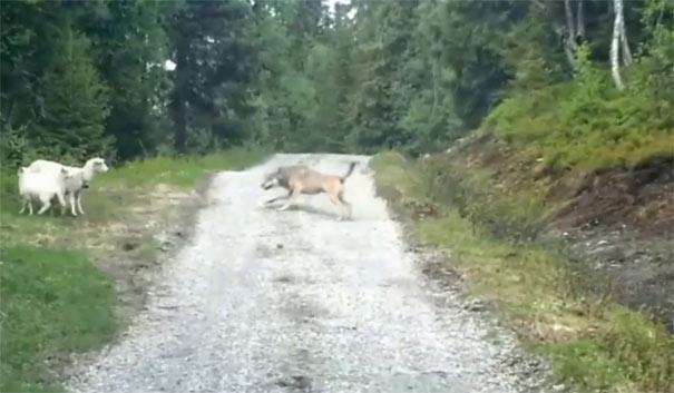 Όταν τα πρόβατα τρόμαξαν τον λύκο