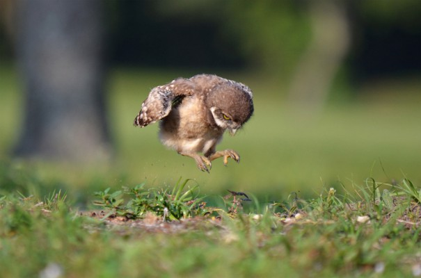 Νεαρή κουκουβάγια μαθαίνει να πετάει | Φωτογραφία της ημέρας