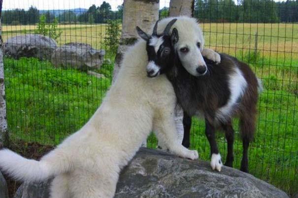 Αγκαλιές ζώων (1)