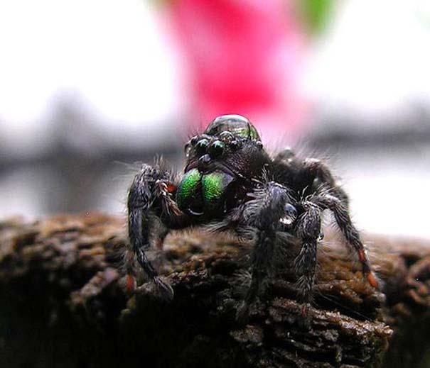 Αράχνες ποζάρουν φορώντας καπέλα από σταγόνες νερού (2)