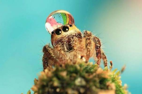 Αράχνες ποζάρουν φορώντας καπέλα από σταγόνες νερού (6)