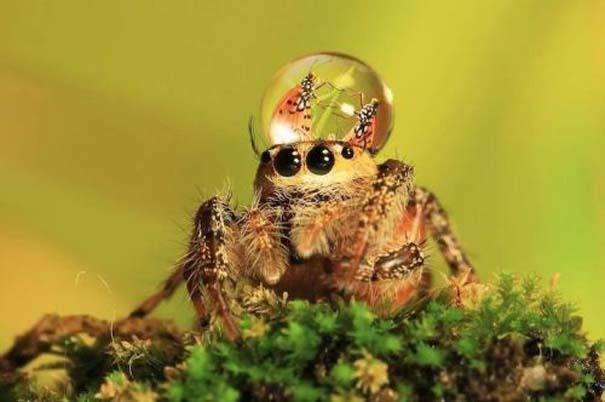 Αράχνες ποζάρουν φορώντας καπέλα από σταγόνες νερού (7)