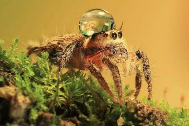Αράχνες ποζάρουν φορώντας καπέλα από σταγόνες νερού (9)