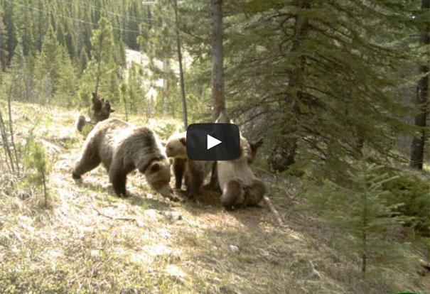 Αρκούδες μόνες στο δάσος