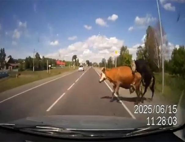 Αυτοκίνητο συγκρούστηκε με ταύρο & αγελάδα