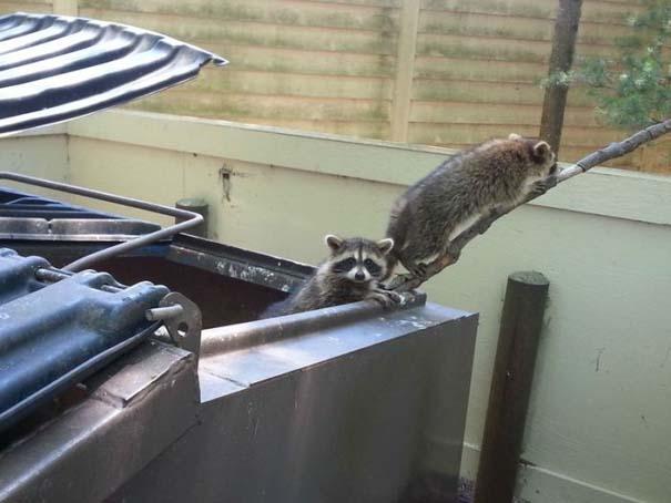 Διάσωση Raccoon (6)