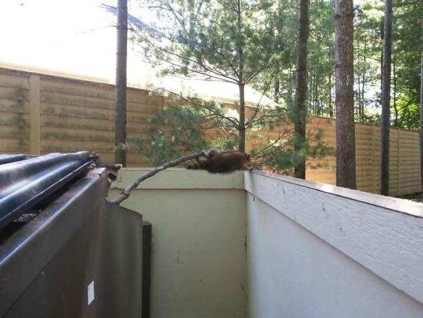 Διάσωση Raccoon (7)