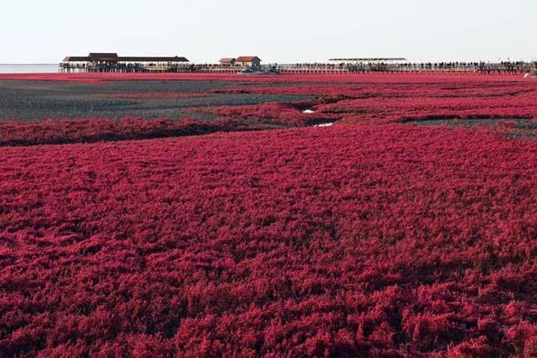 Η εκπληκτική Κόκκινη Παραλία στο Panjin της Κίνας (6)