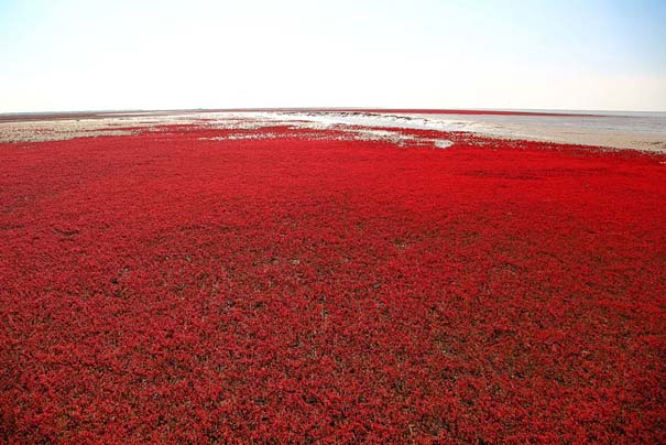Η εκπληκτική Κόκκινη Παραλία στο Panjin της Κίνας (9)