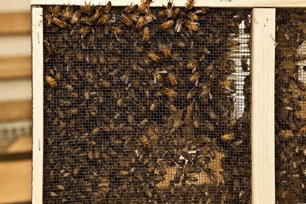 Μέλισσες σε ρόλο 3D εκτυπωτή (9)