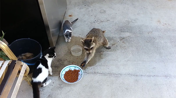 Ρακούν κλέβει τροφή από γάτες με τον πιο ύπουλα ξεκαρδιστικό τρόπο