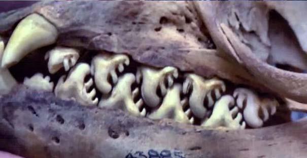 Μπορείτε να μαντέψετε σε τι ζώο ανήκει αυτό το κρανίο; (2)