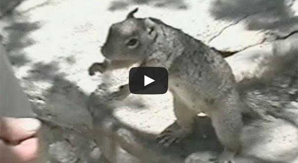 Σκίουρος παρακαλάει για τροφή με ακαταμάχητο τρόπο