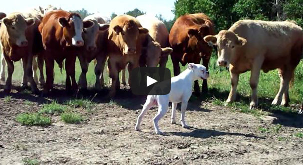 Σκύλος ράτσας boxer έρχεται αντιμέτωπος με αγελάδες
