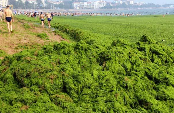 «Θάλασσα» από πράσινο στις ακτές της Κίνας (13)