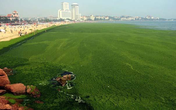 «Θάλασσα» από πράσινο στις ακτές της Κίνας (1)