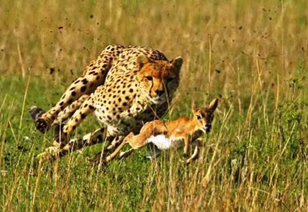 20 ζώα που ετοιμάζονται να γίνουν... γεύμα (5)