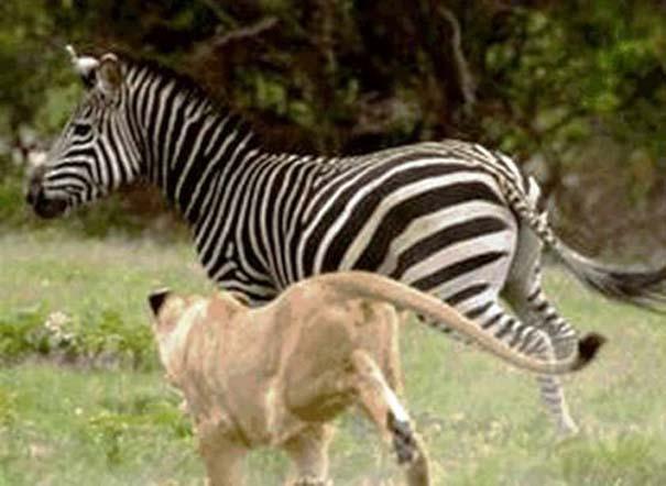 20 ζώα που ετοιμάζονται να γίνουν... γεύμα (8)