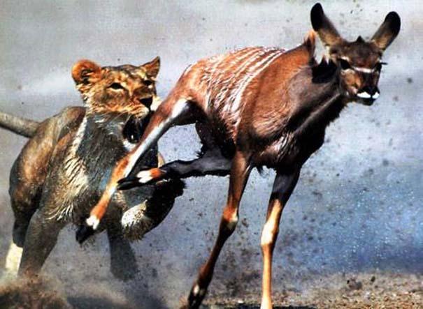 20 ζώα που ετοιμάζονται να γίνουν... γεύμα (9)