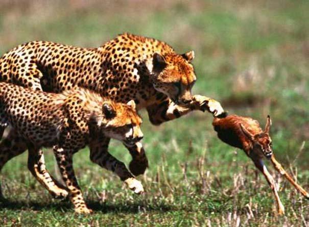 20 ζώα που ετοιμάζονται να γίνουν... γεύμα (14)