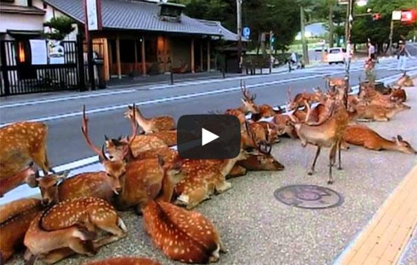 Ελάφια κάνουν κατάληψη σε πόλη της Ιαπωνίας