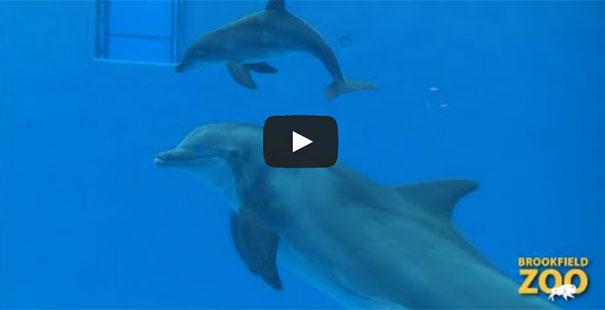 Η γέννηση και η πρώτη ανάσα ενός δελφινιού