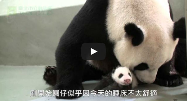 Μαμά Panda έρχεται σε επαφή με το μωρό της για πρώτη φορά
