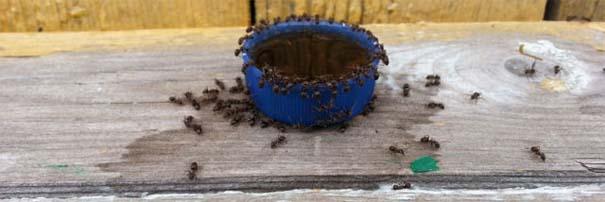 Μυρμήγκια & Pepsi (2)