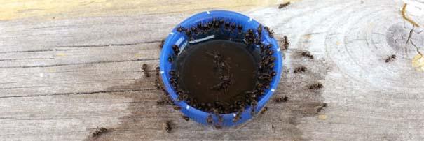 Μυρμήγκια & Pepsi (4)