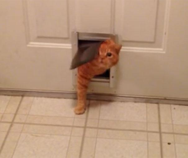 Παχύσαρκος γάτος πασχίζει να περάσει από την πόρτα του σκύλου