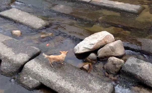 Χαριτωμένο σκυλάκι χρησιμοποιεί ένα ποτάμι για να παίξει με την μπάλα του