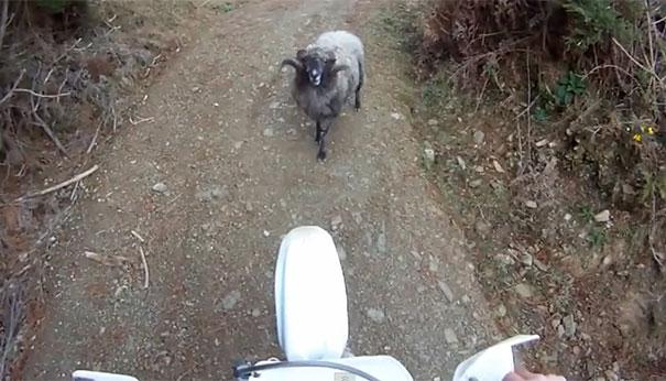 Τσαντισμένο κριάρι εναντίον αναβάτη μοτοσικλέτας