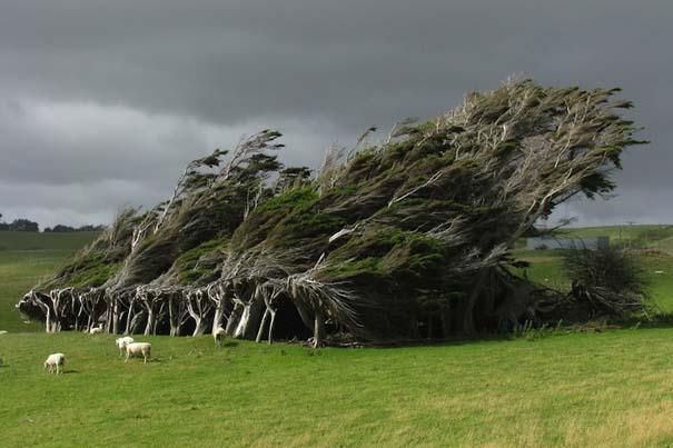 Ανεμοδαρμένα δέντρα του Slope Point (1)