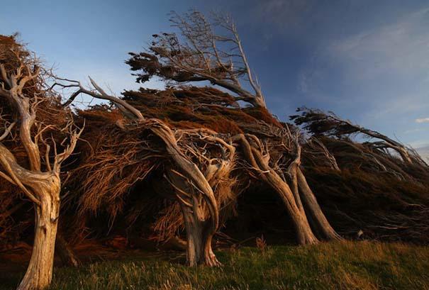 Ανεμοδαρμένα δέντρα του Slope Point (4)