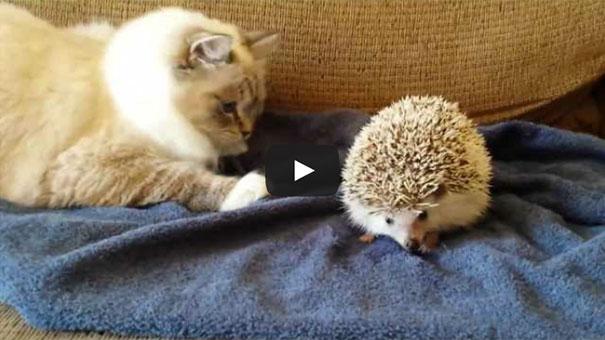 Γάτα μαθαίνει πως δεν πρέπει να τα βάζει με τον σκαντζόχοιρο