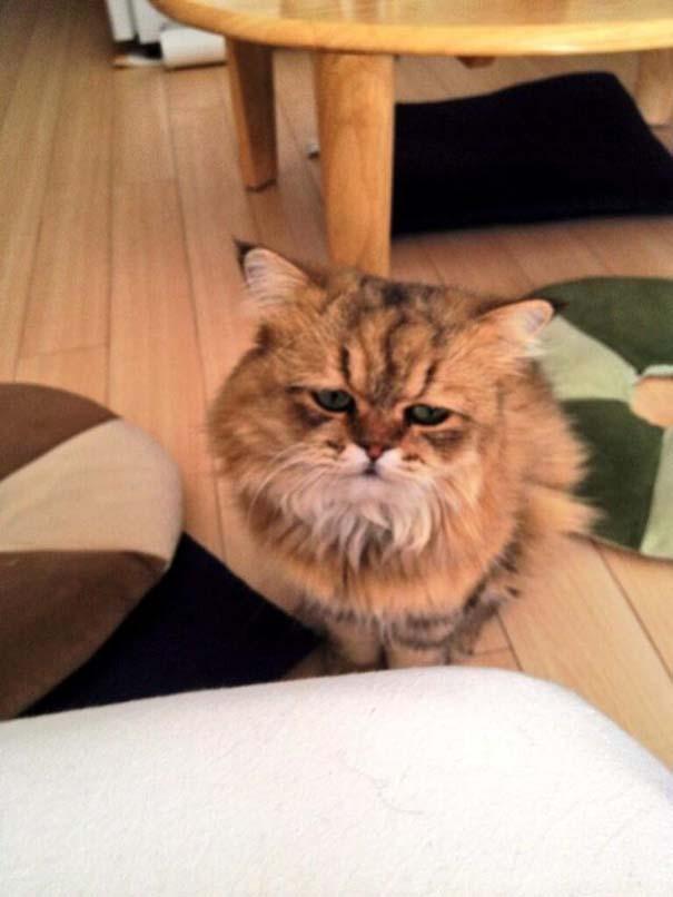 Η γάτα που είναι μονίμως απογοητευμένη (1)