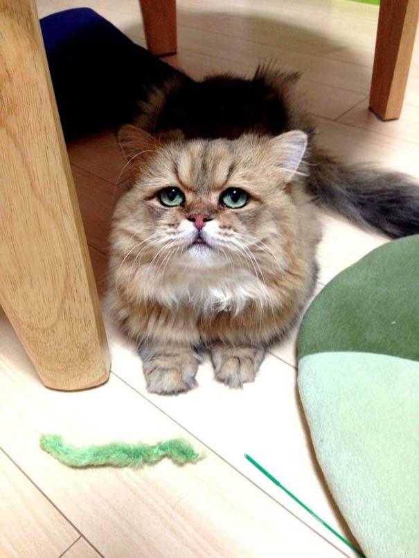 Η γάτα που είναι μονίμως απογοητευμένη (4)