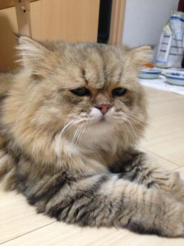 Η γάτα που είναι μονίμως απογοητευμένη (8)