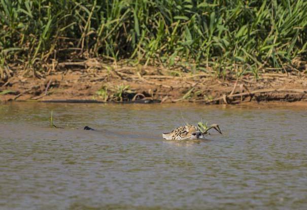 Απίστευτες εικόνες από την επίθεση ενός jaguar σε αλιγάτορα (2)