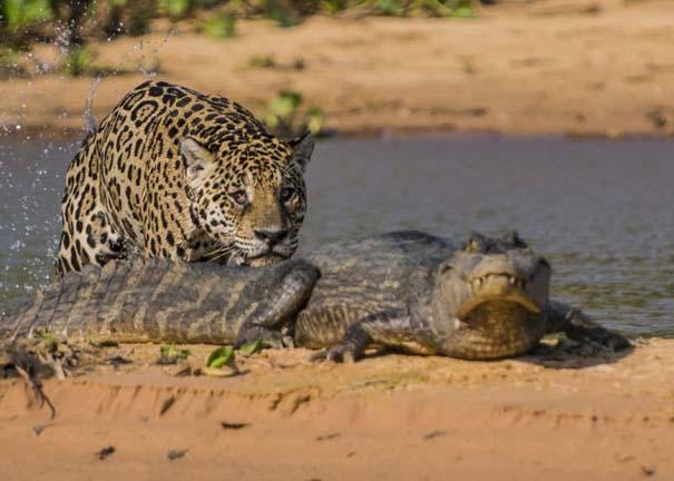 Απίστευτες εικόνες από την επίθεση ενός jaguar σε αλιγάτορα (4)