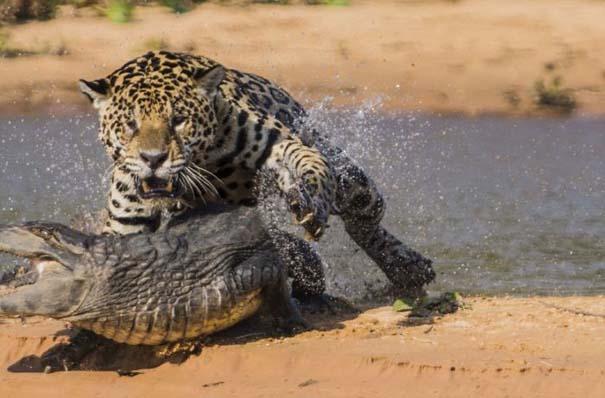 Απίστευτες εικόνες από την επίθεση ενός jaguar σε αλιγάτορα (5)