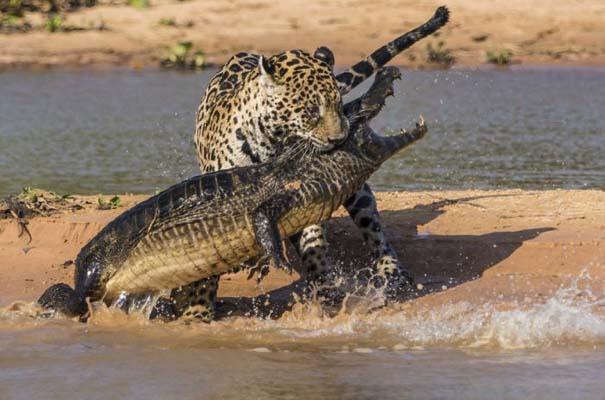 Απίστευτες εικόνες από την επίθεση ενός jaguar σε αλιγάτορα (7)