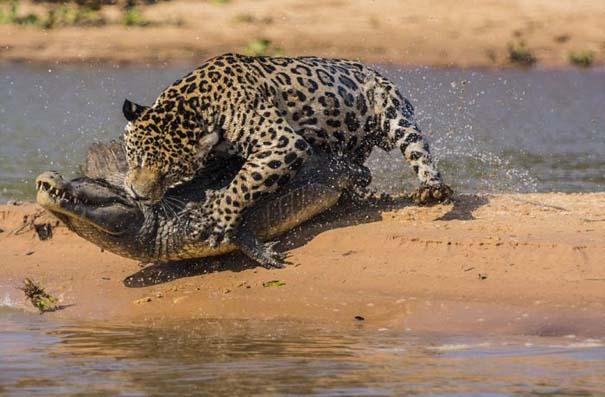Απίστευτες εικόνες από την επίθεση ενός jaguar σε αλιγάτορα (8)