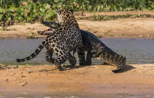 Απίστευτες εικόνες από την επίθεση ενός jaguar σε αλιγάτορα (9)