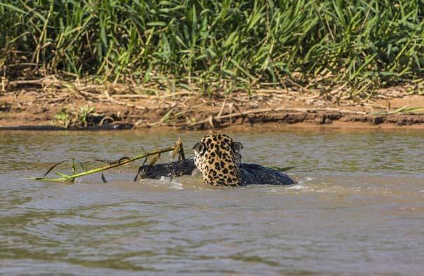 Απίστευτες εικόνες από την επίθεση ενός jaguar σε αλιγάτορα (10)