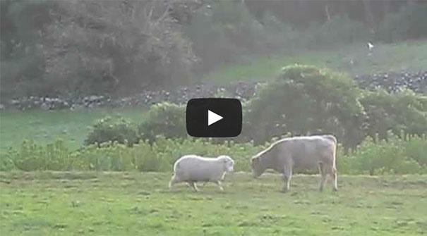 Πρόβατο μαθαίνει σε νεαρό ταύρο πως να ρίχνει κουτουλιές