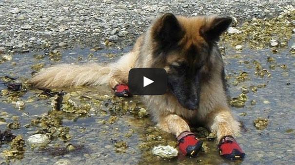 Σκύλοι φοράνε παπούτσια για πρώτη φορά