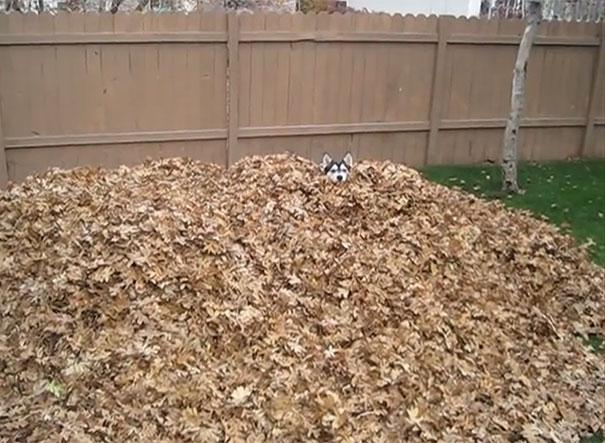 Χάσκι βρήκε την απόλυτη ευτυχία σε έναν τεράστιο σωρό από φύλλα